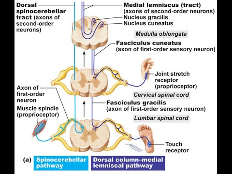 fiky anatomy neuroanatomy part 2( spinal cord - ascending tracts ...