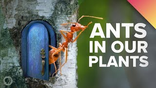 We've Got Ants In Our Plants!(What is this? A forest for ANTS?! Deep Look: https://youtu.be/fguo3HvWjb0 Tweet this video ⇒ http://bit.ly/OKTBSplAnts Share on FB ..., 2016-11-01T13:01:03.000Z)