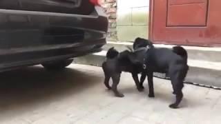 оргия собак