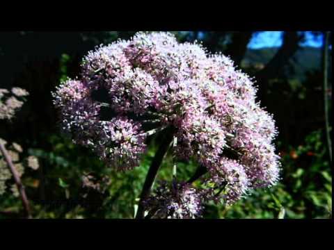 Oenanthe crocata - hemlock water dropwort - deadliest plant in UK