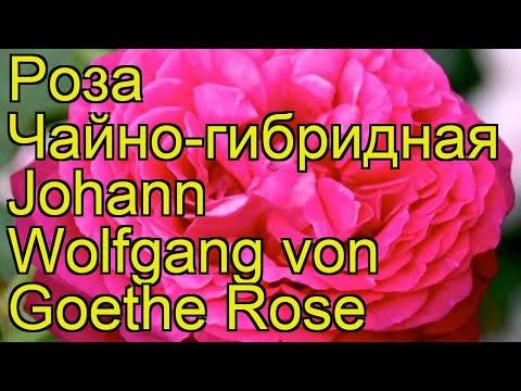 Вопрос: Как выглядит чайно-гибридная роза Иоган Штраус?