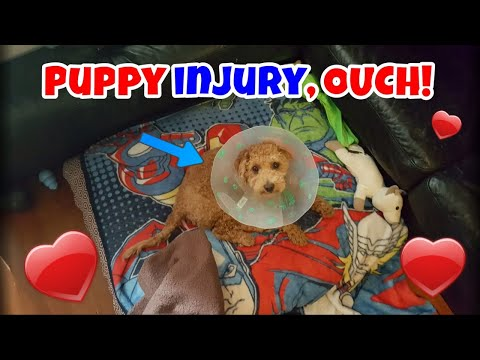 Puppy Injury, OUCH! - Just Gin 3: Cutest Dog Ever! VOL. 45