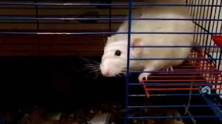 Симон и ребята спасаются от жары/декоративные крысы