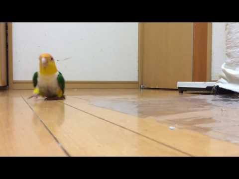Попугай топает (полная версия)