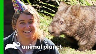 Happy Birthday to Minibus The Wombat! | Crikey! It's The Irwins