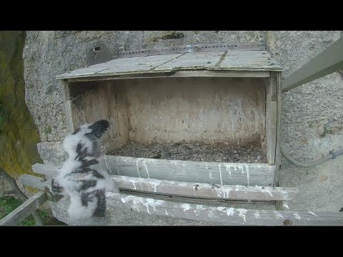 Great Spirit Bluff Falcon Cam ~ Now K-52 Falls From Ledge 6.3.17