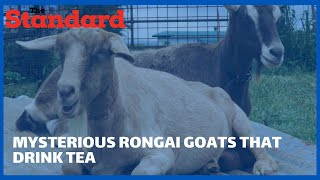 The mysterious goats of Ongata Rongai