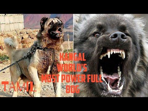 Kangal dog info in tamil