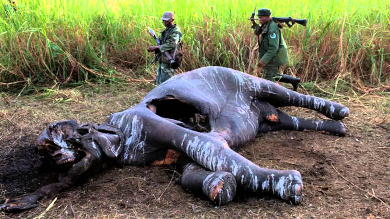 Elephants Blood Ivory Youtube