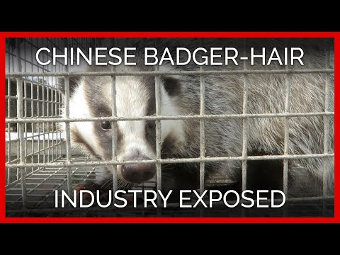 Chinese Badger-Hair Industry Exposed: Caged And Beaten For Makeup, Shaving, And Paint Brushes