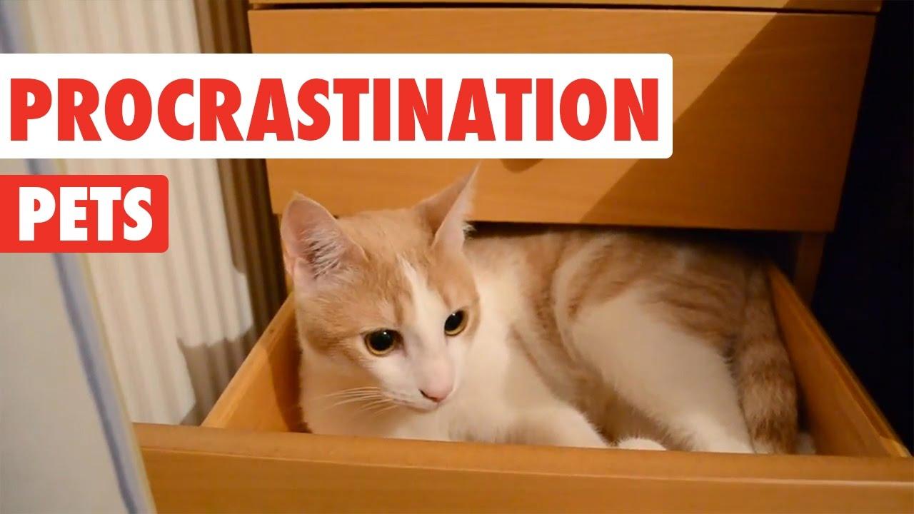 Procrastination Pets Video Compilation 2016