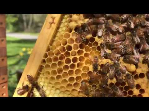 Beekeeping. Hive Split With Swarm Cells. Nectar Flow Is On. Queen Cell With Royal Jelly.