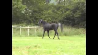 Black Stallion. Straight Egyptian Arabian 'Ibn layalia' by 'Thee desperado' Thumbnail