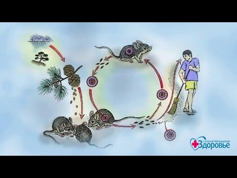 Геморрагическая лихорадка. Как не заболеть? Здоровье. (06.05.2018)