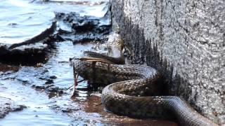 Schlange am Gardasee (Italien) ! 2018 / snake in italy Natrix Tesselata