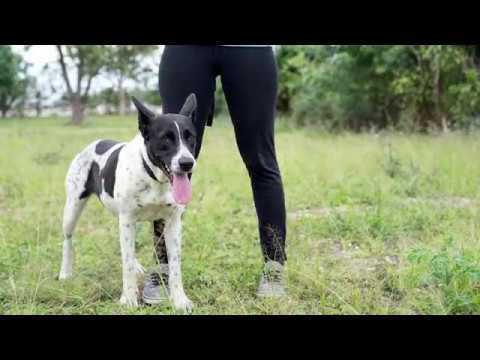Border Collie and Australian Cattle Blue Heeler Dog Mix Available for Adoption