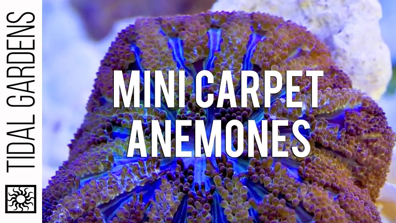 Ananomie Videos rock flower anemone breeding - invertebrate forum - nano