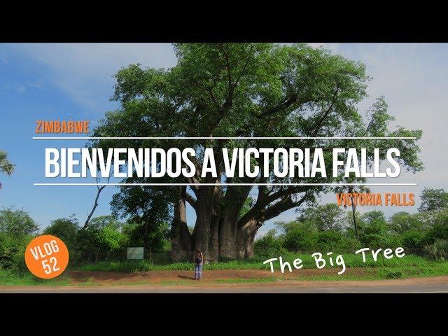 Bienvenidos a Victoria Falls, Zimbabwe 🇿🇼The Big Tree