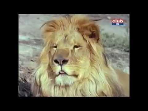daktari ( générique début & fin ( 1966
