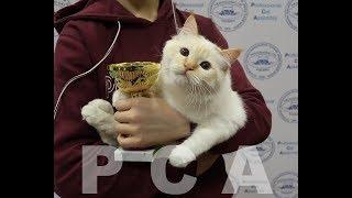 Бирманский кот ред-пойнт. Выставка кошек PCA on-line
