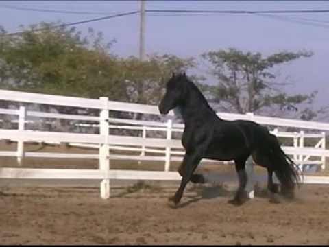 Andrew Z Friesian Stallion