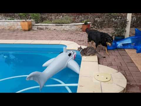 Cats and dogs playing together Cute cat and dogs find a shark in the pool!