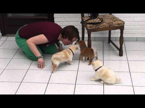 Shiba Inu Welpen 5 Wochen Teil 1