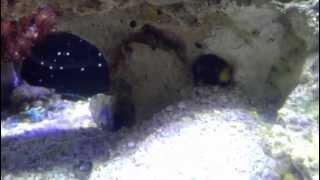 Shrimp/goby pair feeding time!
