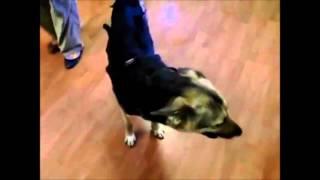 Перелом позвоночника у собаки - не приговор(Четыре года назад эта собака была подобрана со страшным переломом позвоночника на ночной трассе.. Подробне..., 2015-11-22T19:29:01.000Z)