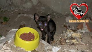 Feeding A Little BLACK kitten Screaming for Foods-Baby Kitten Meowing Loudly Lost Mother on street