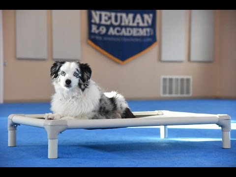 Leo (Mini-Australian Shepherd) Boot Camp Dog Training Demonstration