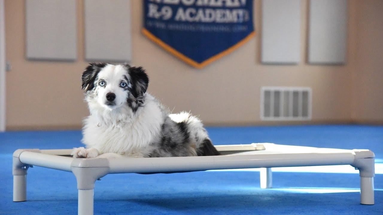 Leo Mini Australian Shepherd Boot Camp Dog Training