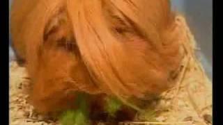 Уход за длинношерстной морской свинкой