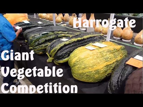 Allotment Diary : Harrogate Giant Vegetable Competition