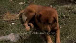 Himalayan Gaddi - Bhutia Sheep-dog At Gidara Bugyal Campsite