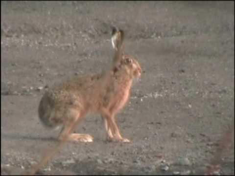 Wild Hares at Altcar