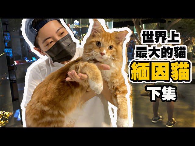 貓奴天堂!40隻緬因貓超嗨貓草趴 推車遛大貓  貓咪身體狗狗靈魂的動物治療師 緬因貓 下集
