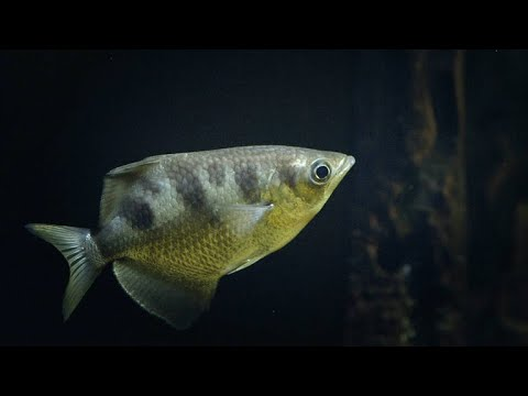 You Won't Believe How The Archer Fish Catches Insects (4K)
