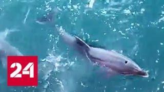 Охоту дельфинов рядом с Крымским мостом сняли на видео - Россия 24