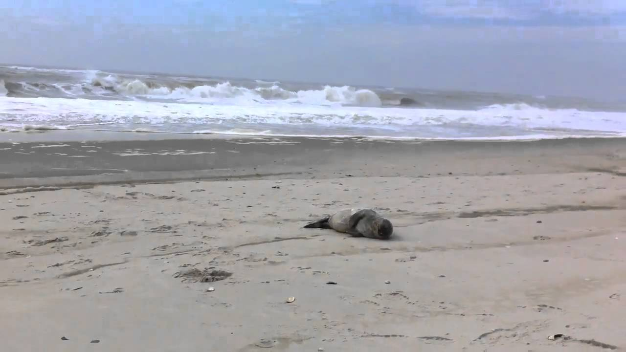 A Seal Lounged On The Beach At Robert Moses State Park In Babylon Easter Newsday