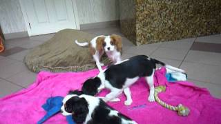 Cavalier Puppies For Sale, Cavalier King Charles Spaniel Puppy, Ckcs 631-345-0809