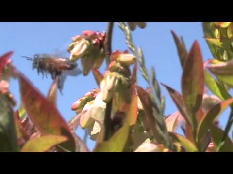 Cooperative Extension Blueberry Research