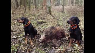 Gończy polski vs. Dzik - wild boar hunting