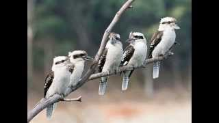 Kookaburra's laughing