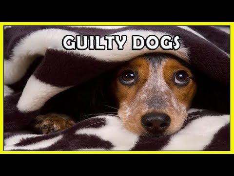 Funny Guilty Dogs Compilation HD FunnyCat