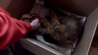 Кот воспитывает пит буля!