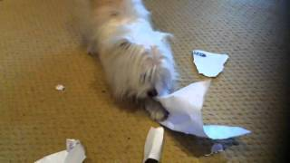 Chihuahua Maltese Cross Puppy Dog Tearing Up A Sheet Of A4 Paper Omg Must Watch !!!