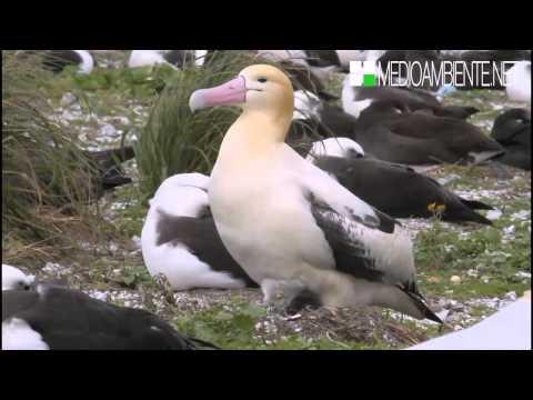 Albatros de cola corta o albatros de Steller (Phoebastria albatrus)