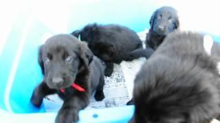 フラットコーテッドレトリバーの子犬が生まれています♪ 4/26生まれ 子犬...