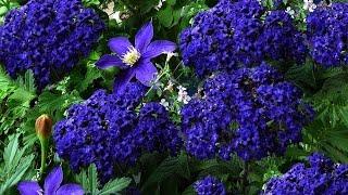 видео Гелиотроп - выращивание из семян, фото цветка